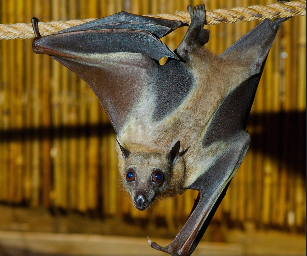 straw colored bat 2