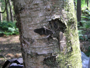 Black and peppered moths