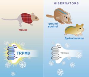 TRPM8 and hibernators