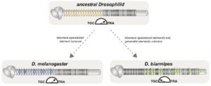 Drosophilid telomeres