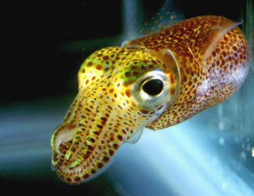 Euprymna scolopes also known as the Hawaiian Bobtail Squid