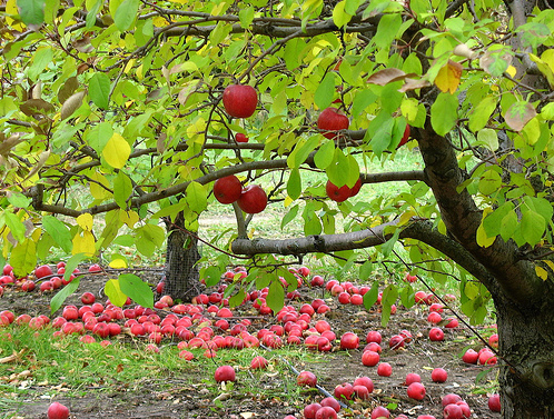 Washington orchard