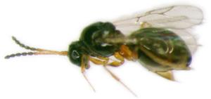 Leptopilina boulardii
