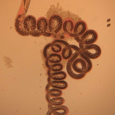 TWiP 76: Herpesvirus worms its way out