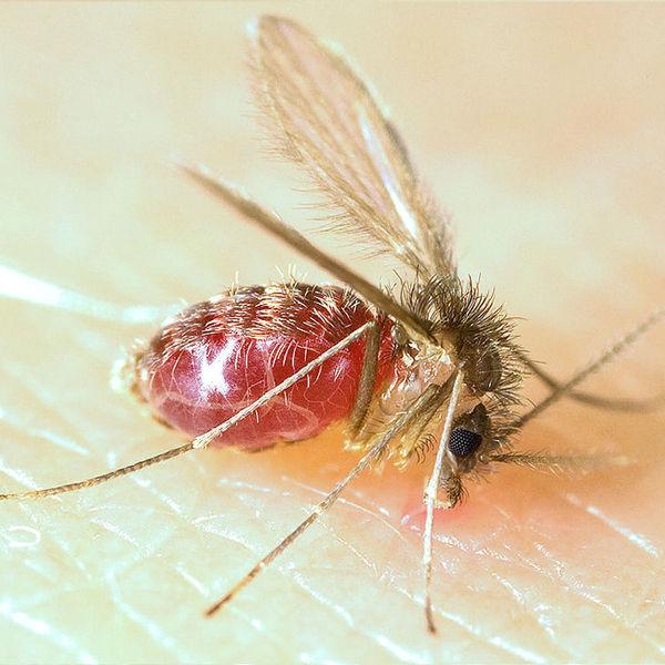 Lutzomyia longipalpis sandfly