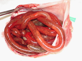 TWiP 52: Not your ordinary unsegmented roundworm