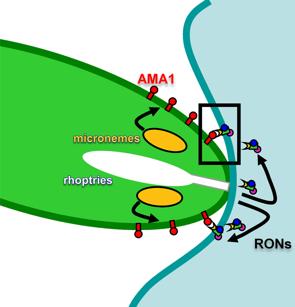 TWiP 13: Toxoplasmosis