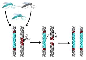 Cas9 mediated gene drive