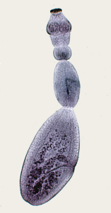 Echinococcus granulosus adult