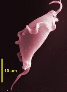 Tritrichomonas muris