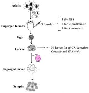 Endosymbionts and Babesia