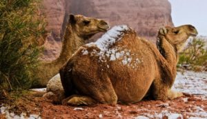 snow camel
