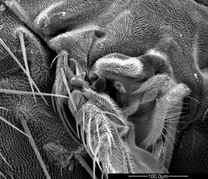 Drosophila_015