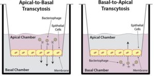 Bacteriophage transcytosis