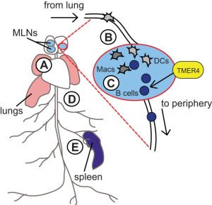 Role of TMER4