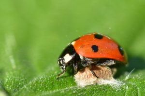 Ladybird on parasitoid cocoon