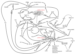 mTOR pathway