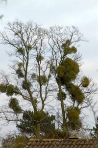 Mistletoe_infested_tree