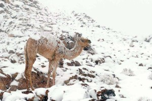 Mr. Camel enjoying the snow