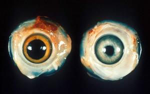 Ocular Marek's disease