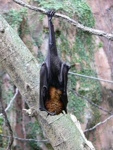 Pteropus-vampyrus
