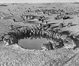 Rabbits Myxomatosis Trial WardangIsland 1938