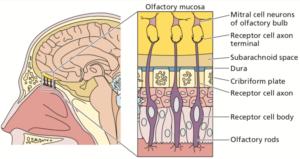 Olfactory virus spread