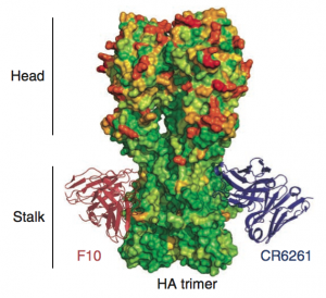 broadly neutralizing HA antibodies