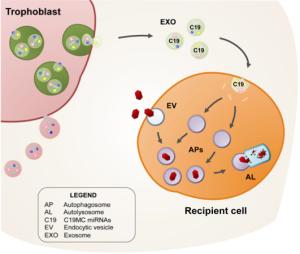 exosome miRNA transfer