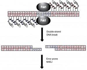 zinc finger nuclease