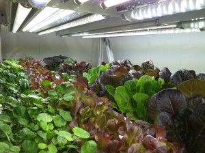 Lettuce shelf